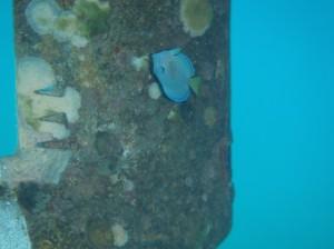 Mélusine, petit poisson chirurgien amoureux d'une hélice...