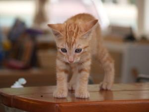 Gracile et minuscule, un chaton parfait!